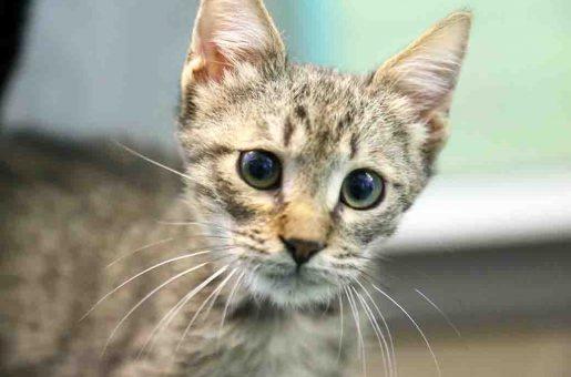 שוסטר חתול לאימוץ אגודת צער בעלי חיים בישראל