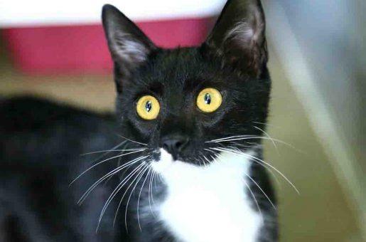 כהן חתול לאימוץ אגודת צער בעלי חיים בישראל