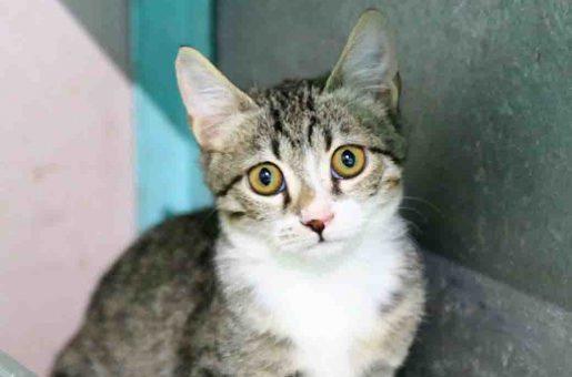 רייצ'ל חתולה לאימוץ אגודת צער בעלי חיים בישראל