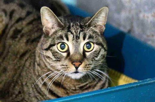 מרסי חתולה לאימוץ אגודת צער בעלי חיים בישראל