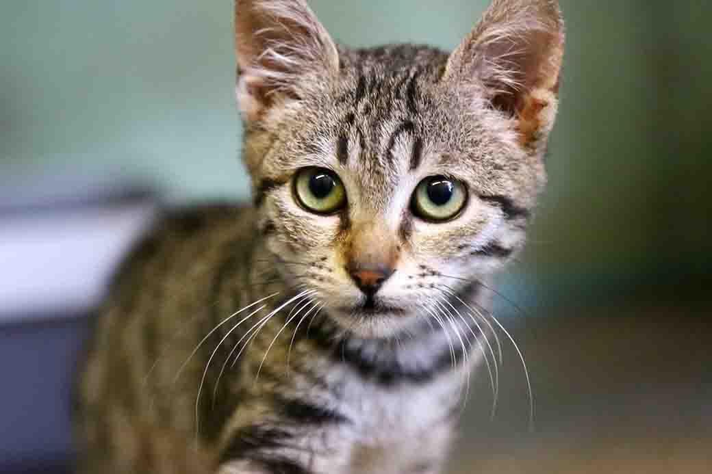קטנצ'יק חתול לאימוץ אגודת צער בעלי חיים בישראל