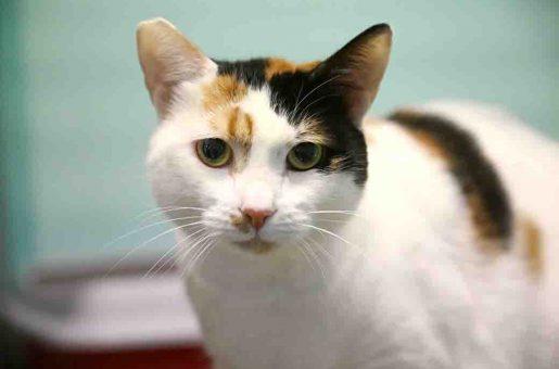 מוקה חתולה לאימוץ אגודת צער בעלי חיים בישראל