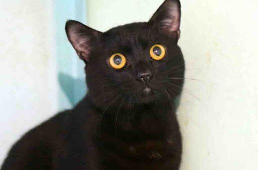 קוקס חתול לאימוץ אגודת צער בעלי חיים בישראל