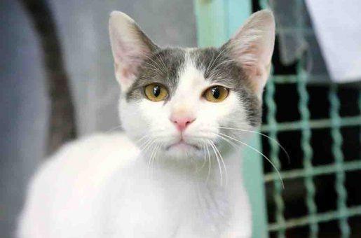ביבו חתול לאימוץ אגודת צער בעלי חיים בישראל