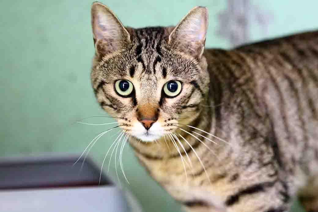 תומס חתול לאימוץ אגודת צער בעלי חיים בישראל