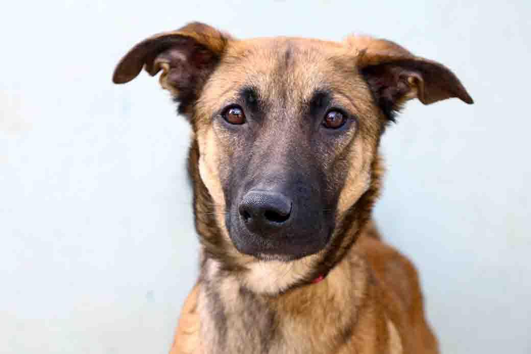 איב כלבה לאימוץ אגודת צער בעלי חיים בישראל