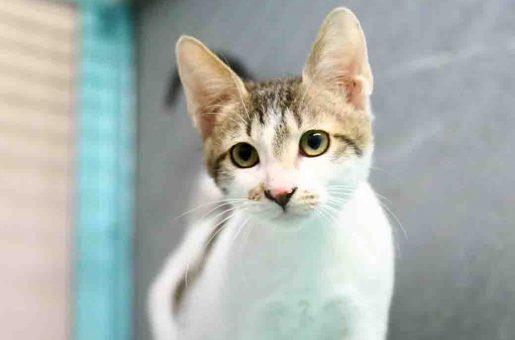 זלטה חתולה לאימוץ אגודת צער בעלי חיים בישראל