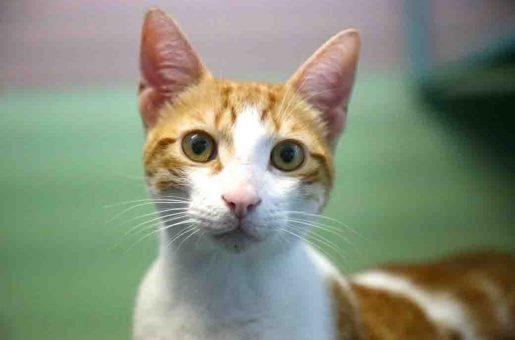 שלג חתול לאימוץ אגודת צער בעלי חיים בישראל