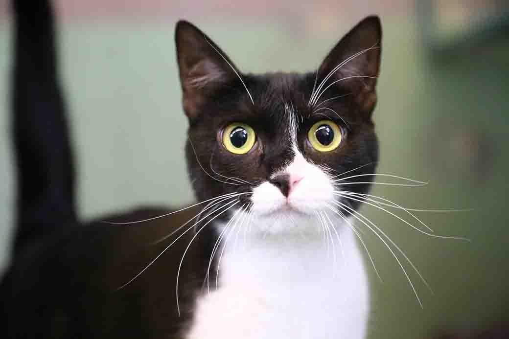 מורקה חתולה לאימוץ אגודת צער בעלי חיים בישראל