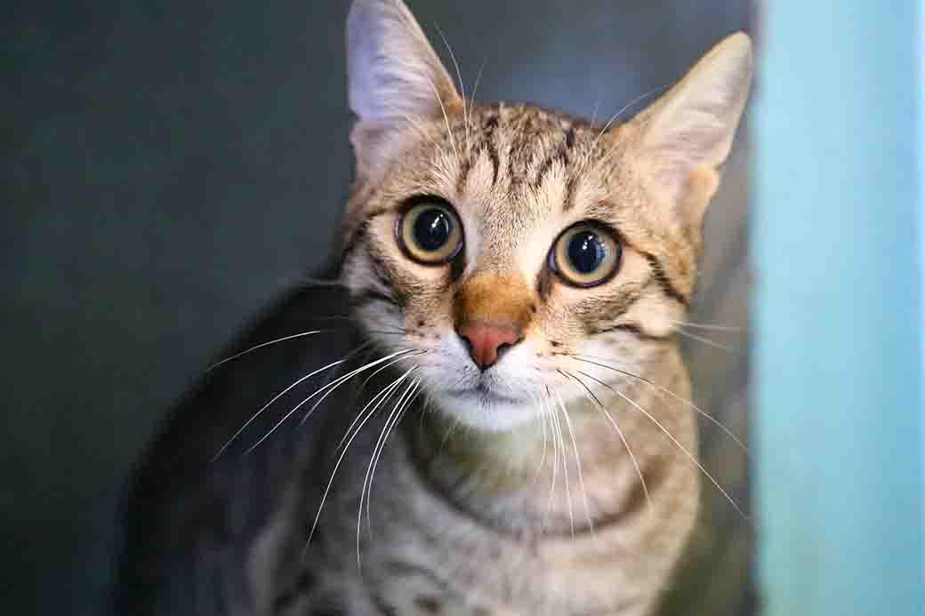 תשובה חתול לאימוץ אגודת צער בעלי חיים בישראל