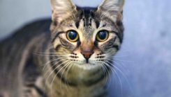 קשיו - חתולה לאימוץ - אגודת צער בעלי חיים בישראל