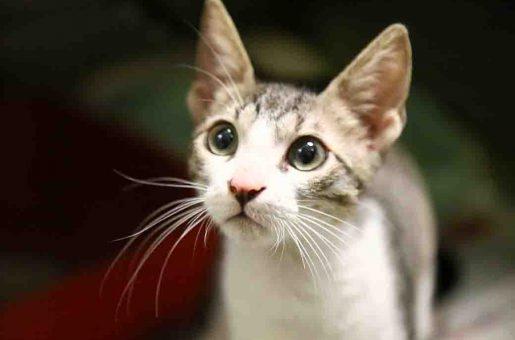 ווילי חתול לאימוץ אגודת צער בעלי חיים בישראל