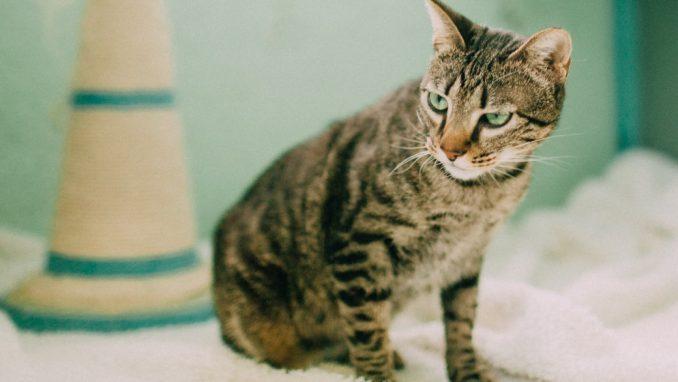 תומס - חתול לאימוץ - אגודת צער בעלי חיים בישראל