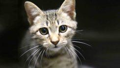 זורו - חתול לאימוץ - אגודת צער בעלי חיים בישראל