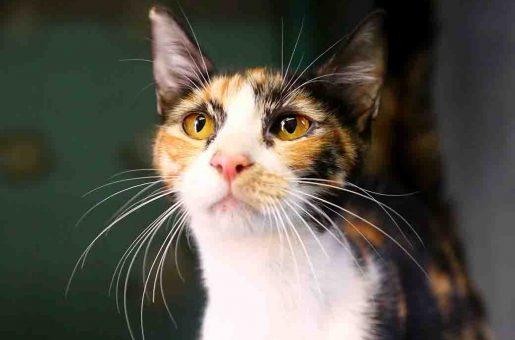 לולה חתולה לאימוץ אגודת צער בעלי חיים בישראל