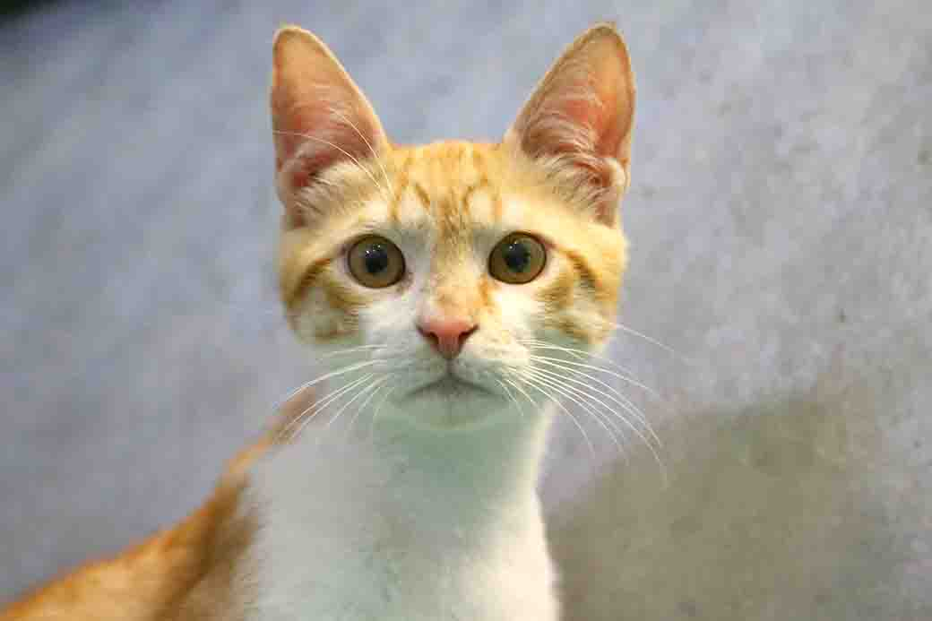 בועז חתול לאימוץ אגודת צער בעלי חיים בישראל