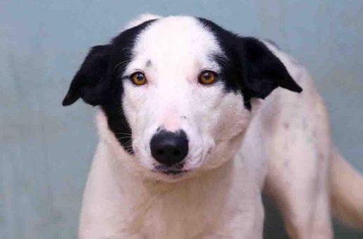 אנסטסיה כלבה לאימוץ אגודת צער בעלי חיים בישראל