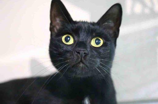 מרוסיה חתולה לאימוץ אגודת צער בעלי חיים בישראל