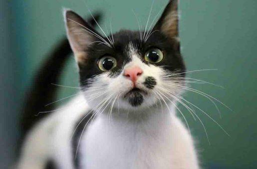 מלכה חתולה לאימוץ אגודת צער בעלי חיים בישראל