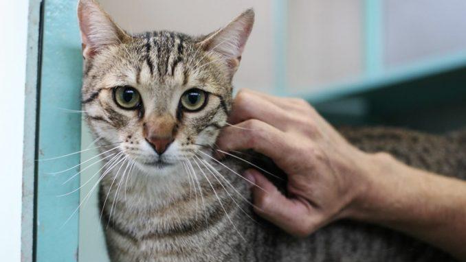 לולה - חתולה לאימוץ - אגודת צער בעלי חיים בישראל
