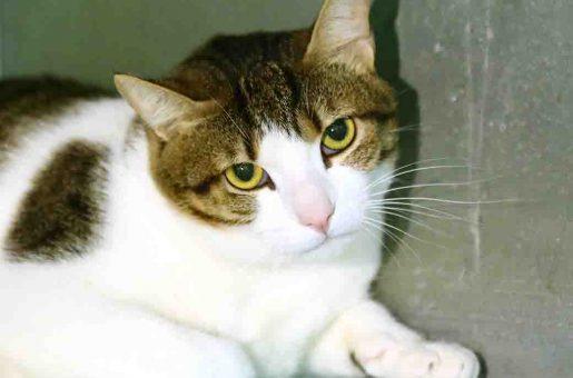 טן טן – חתולה לאימוץ – אגודת צער בעלי חיים בישראל