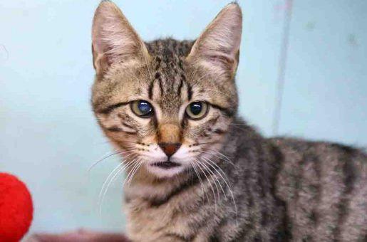 בונה חתול לאימוץ אגודת צער בעלי חיים ישראל