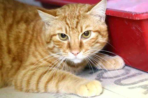 ג'ינג'י – חתול לאימוץ – אגודת צער בעלי חיים בישראל