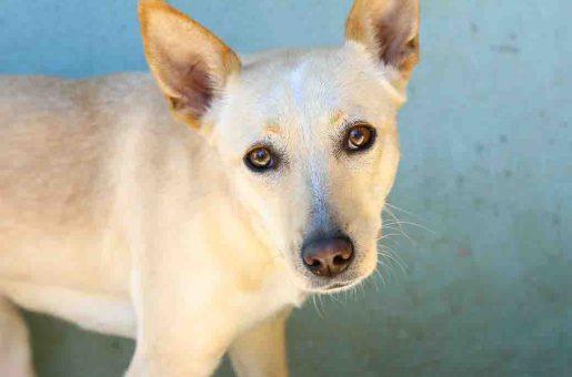בלונדי – כלבה לאימוץ – אגודת צער בעלי חיים בישראל