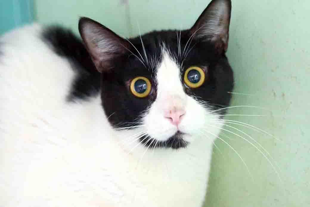 ספוקי – חתולה לאימוץ – אגודת צער בעלי חיים בישראל