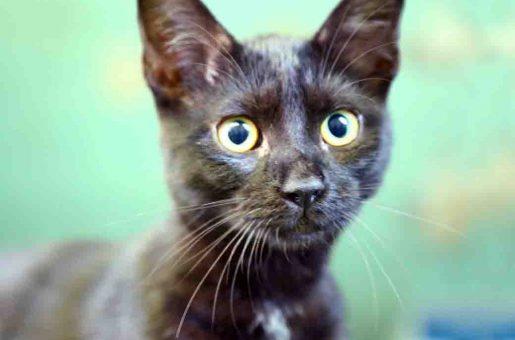 סקרלט – חתולה לאימוץ – אוגדת צער בעלי חיים בישראל