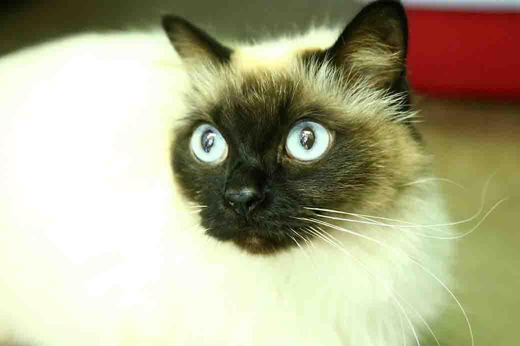 בוסיה – חתולה לאימוץ – אגודת צער בעלי חיים בישראל