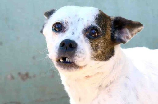 בובה – כלבה לאימוץ – אגודת צער בעלי חיים בישראל