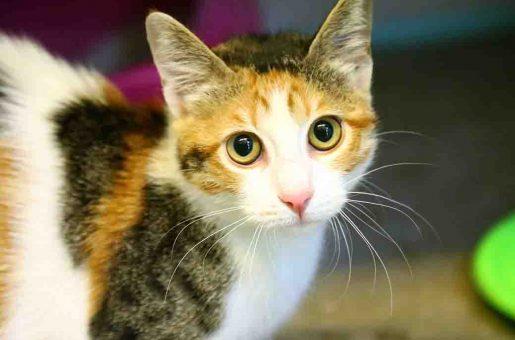 קיטי – חתולה לאימוץ – אגודת צער בעלי חיים בישראל