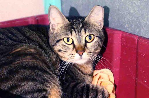 מן – חתולה לאימוץ – אגודת צער בעלי חיים בישראל
