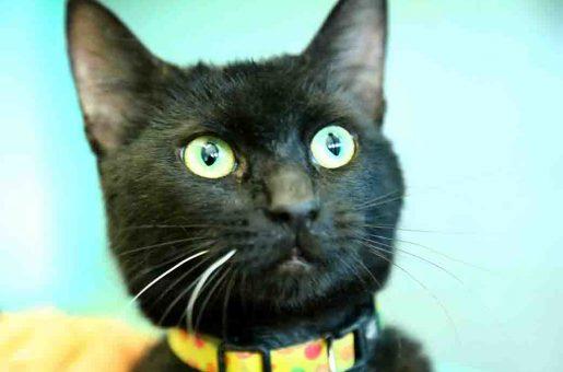 אוראו – חתולה לאימוץ – אגודת צער בעלי חיים בישראל