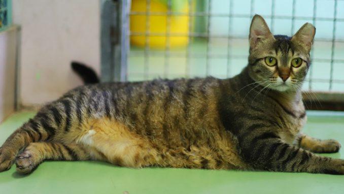 מן - חתולה לאימוץ - אגודת צער בעלי חיים בישראל