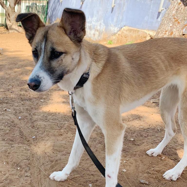 אנג׳ל - כלבה לאימוץ - אגודת צער בעלי חיים בישראל