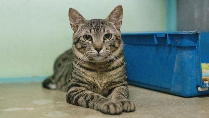לילו – חתולה לאימוץ – אגודת צער בעלי חיים בישראל