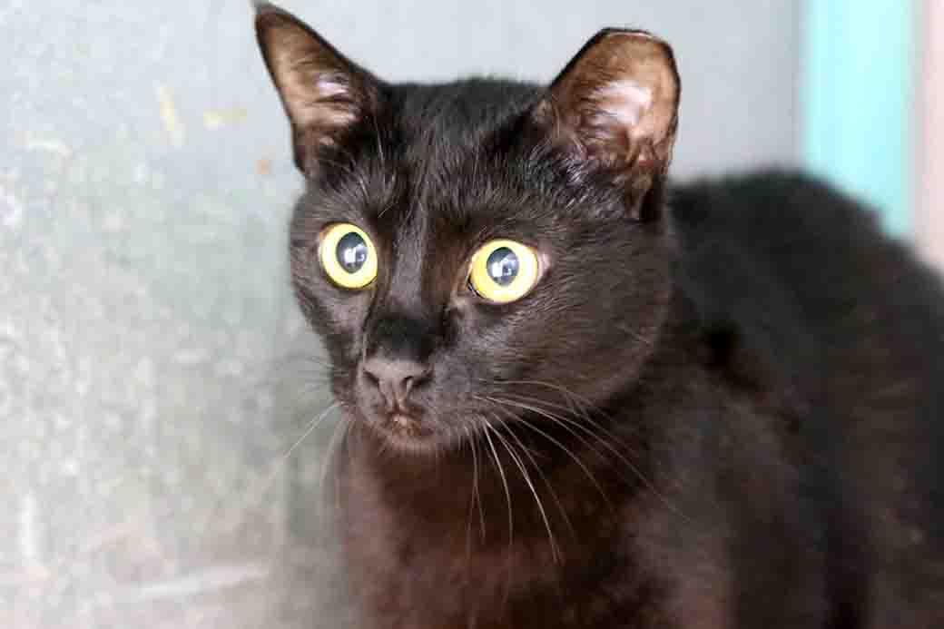 פופי – חתולה לאימוץ – אגודה צער בעלי ישראל