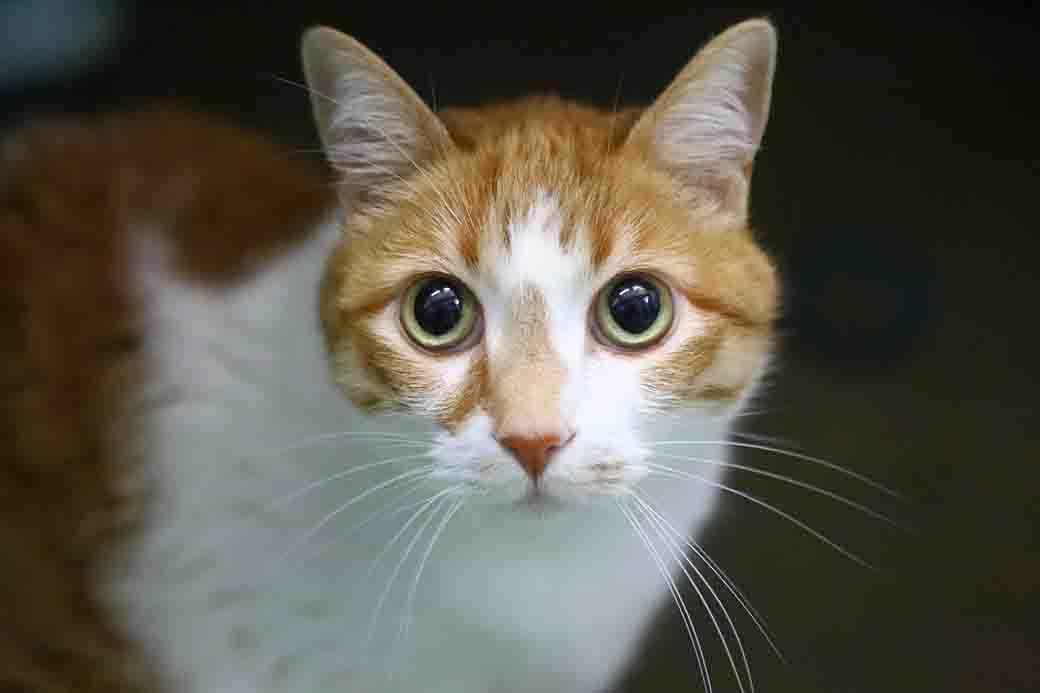 ג'ינג'ר – חתולה לאימוץ – אגודת צער בעלי חיים בישראל