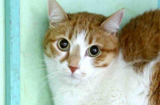 חתולה מעורבת בת 5 שנים חששנית זקוקה לבעלים עדין ובעל סבלנות עם ניסיון בגידול חתולים