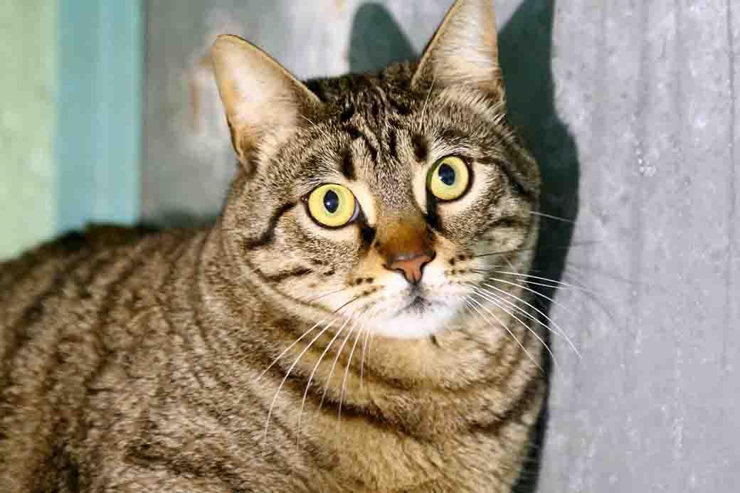 גאטו – חתול לאימוץ – אגודת צער בעלי חיים ישראל