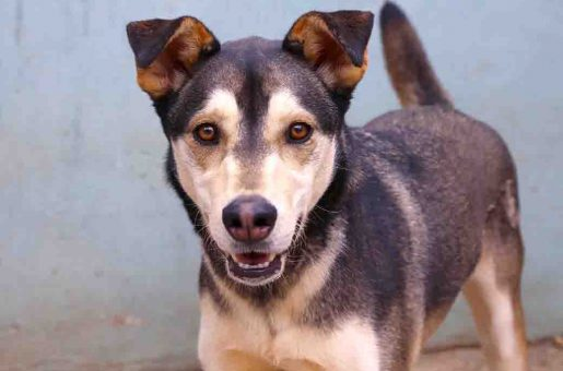 סקאי– כלב לאימוץ – אגודה צער בעלי חיים ישראל