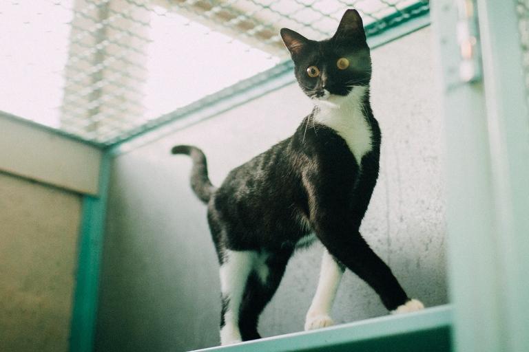 כהן - חתולה לאימוץ - אגודת צער בעלי חיים בישראל