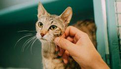 קסניה - חתולה לאימוץ - אגודת צער בעלי חיים בישראל