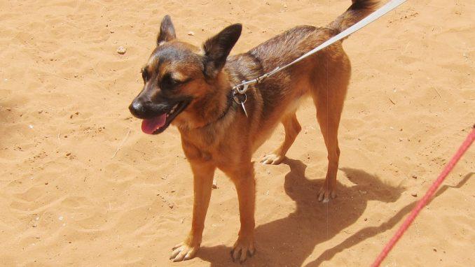 ג'ואי – כלב לאימוץ – אגודת צער בעלי חיים בישראל