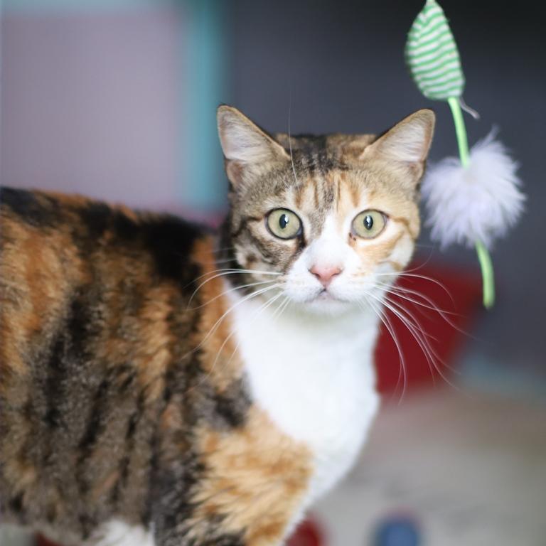 ג'ולי - חתולה לאימוץ - אגודת צער בעלי חיים בישראל