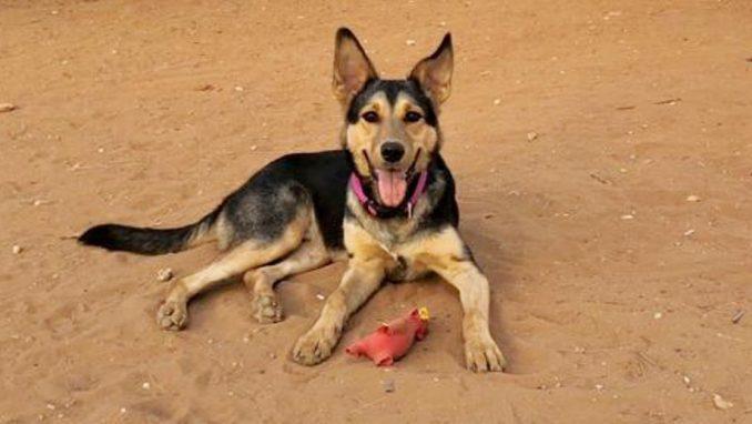 טאז – כלב לאימוץ – אגודה צער בעלי חיים ישראל