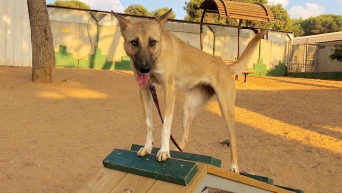 פינוקיו – כלבה לאימוץ – אגודה צער בעלי חיים ישראל