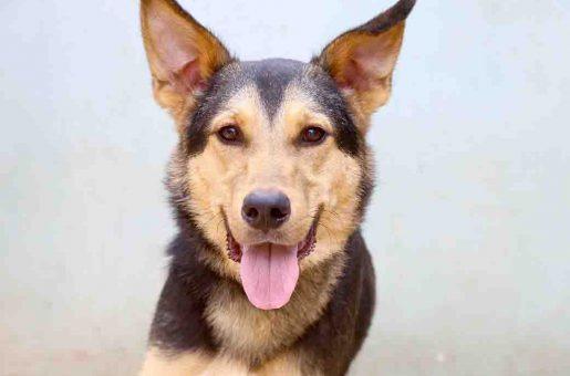 טאז – כלב לאימוץ – אגודת צער בעלי חיים בישראל